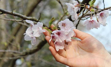 桜守(さくらもり)