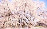 桜に込める祈り