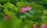 蓮の花の咲く音