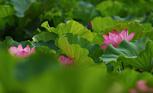 莲花盛开的声音
